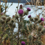 Thistles. Photo by Freyja Ellis