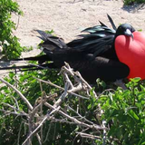 Frigatebird