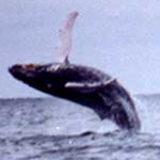 Humpback whale in flight. 