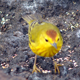 Male Yellow Warbler. Note the red cap.