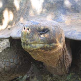 Tortoise on Galápagos