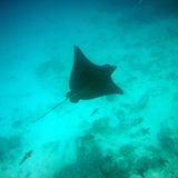 Spotted Eagle Ray, Rabida. Photo by Crit Minster.
