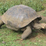 Giant Tortoise in the Highlands